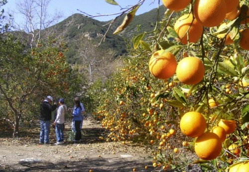 Orange Grove in the Desert