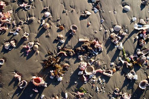 Shells on the Beach at Kino
