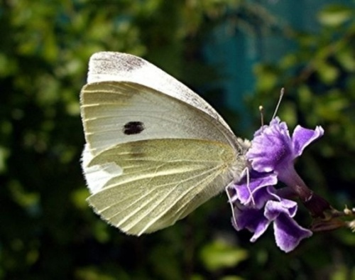 A Cabbage butterfly....
