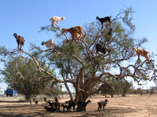 Goats climbing a tree in Morocco