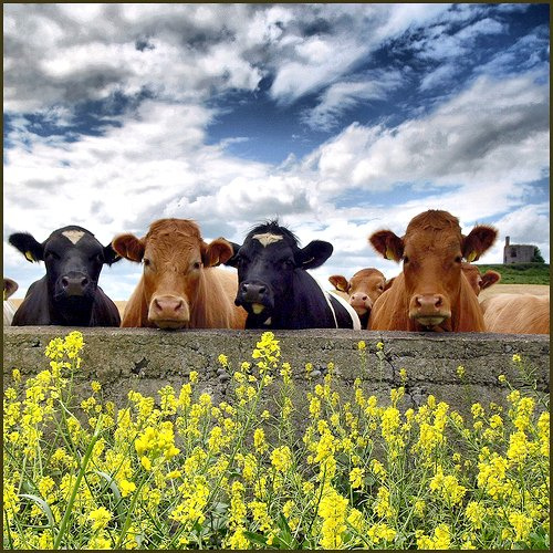Cows - Everything Is Good