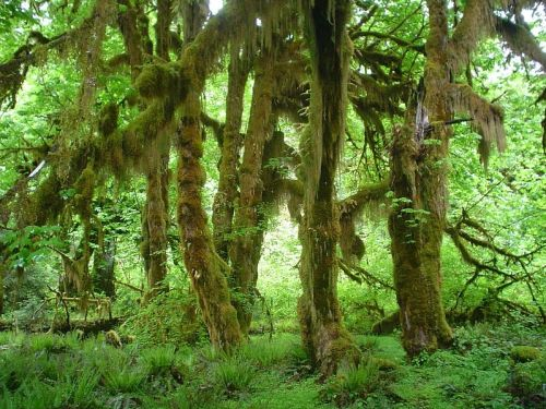 Too Wet: The Hoh Rain Forest (Photo by Kevin Muckenthaler)