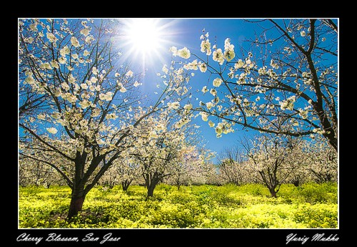 Mustard and Cherry Trees in San Jose