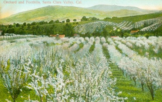 Old Photo Postcard of Santa Clara Valley's Cherry Orchards