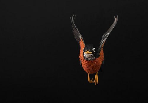 Robin in flight...