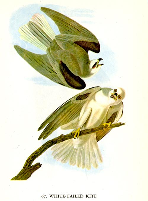 Audubon-White-tailed Kite
