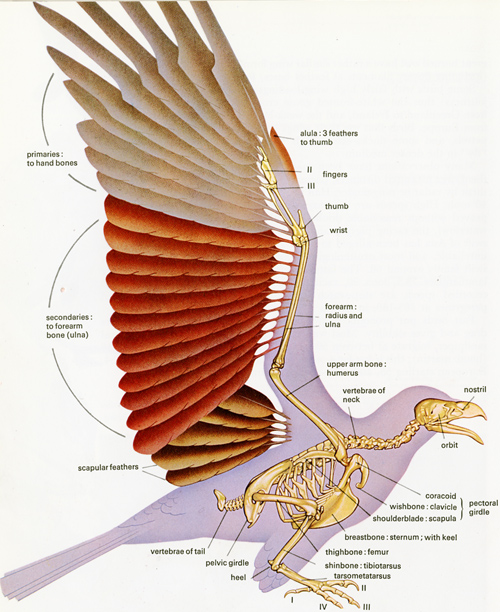 R T Peterson-wing anatomy