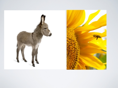donkey sunflower.009