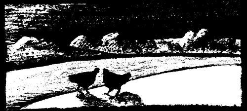 chickens026