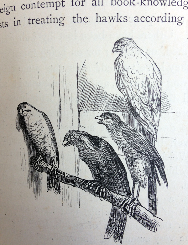 r-caldecott-hawks-listening