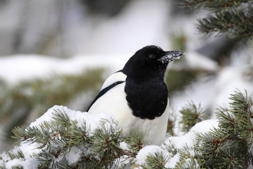 macfarlane15-Black-billed_Magpie_01