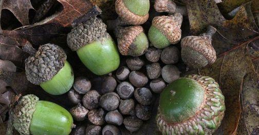 macfarlane8-acorn